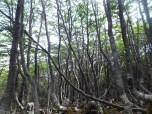 Bosque de Nothofagus antartica - El Bosque magallánico acaba a los 450 msnm