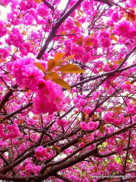 Cherry Blossoms Hokkaido
