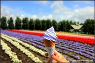 Lavender Soft Serve Icecream