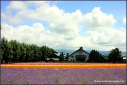 Lavender flower Furano