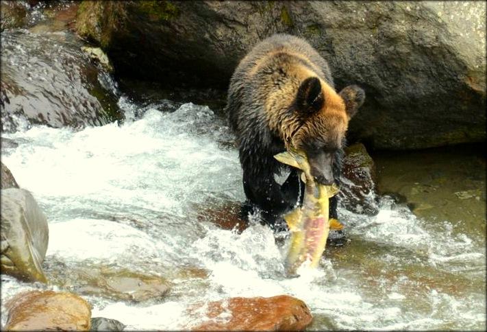 Hokkaido Bear