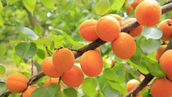 peaches picking