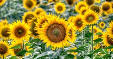 Himawari no Sato – Sunflower field Day Trip