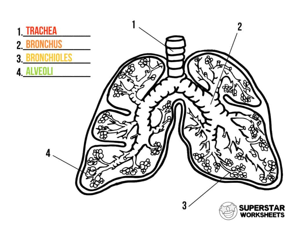 Human Lungs Worksheets