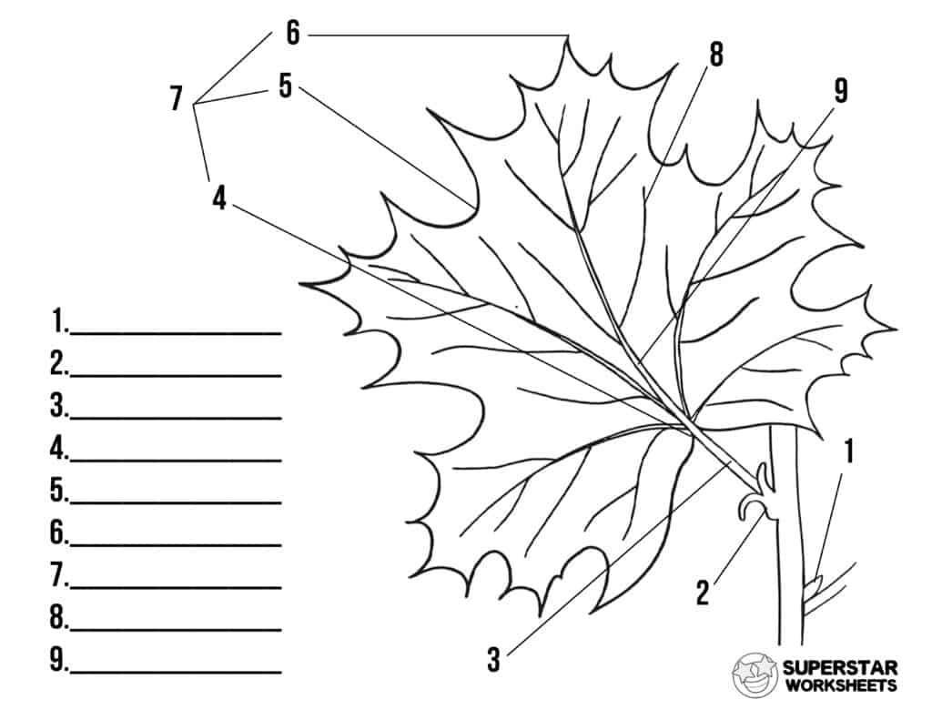 Parts Of A Leaf Worksheet