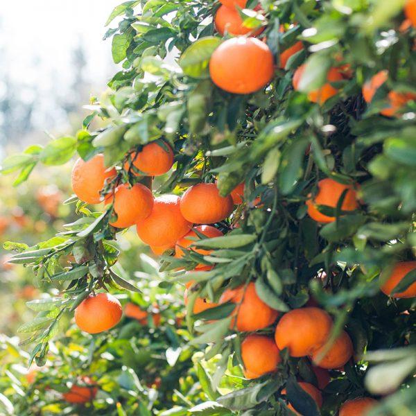 Naranjas de mesa (Supertomate - Tienda online)