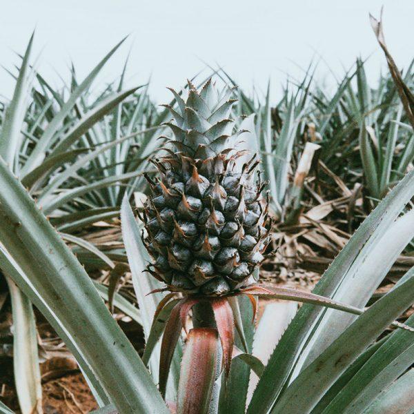 Piña de monte (Supertomate - Tienda online)