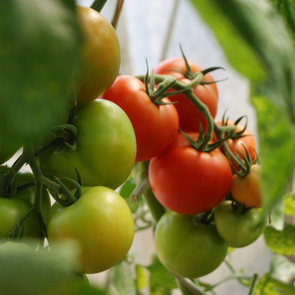 Tomates de rama (Supertomate - Tienda online)