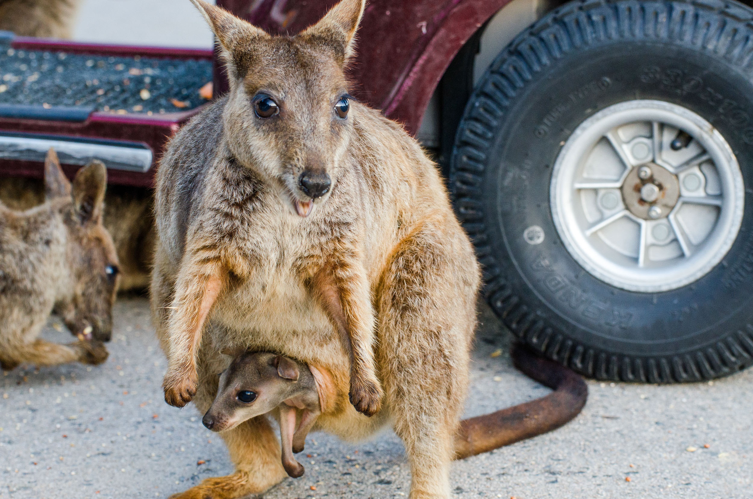 wallaby des rochers magnetic island