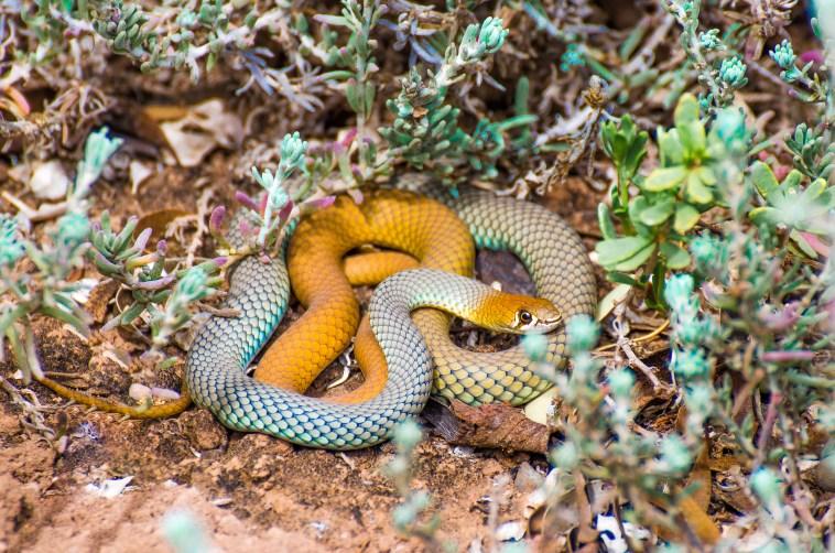 animaux d'australie serpents