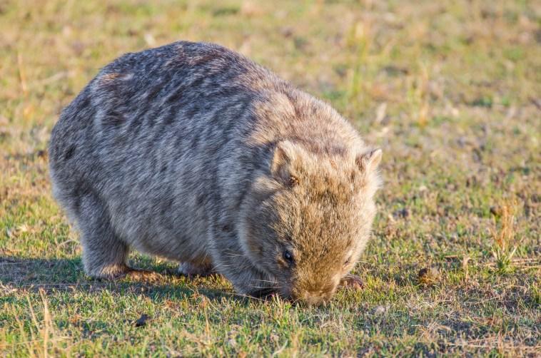 animaux d'australie wombat