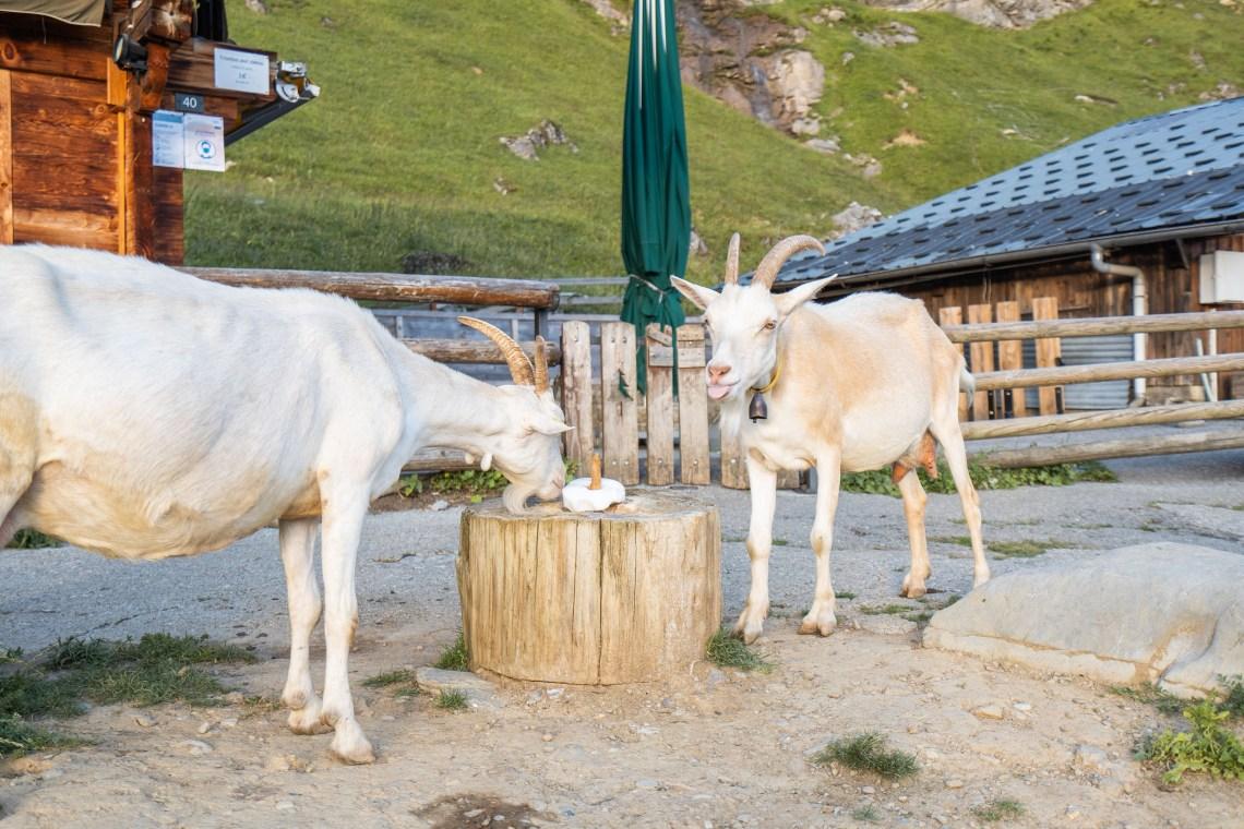chèvres les lindarets haute-savoie