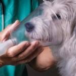 astmul la câini