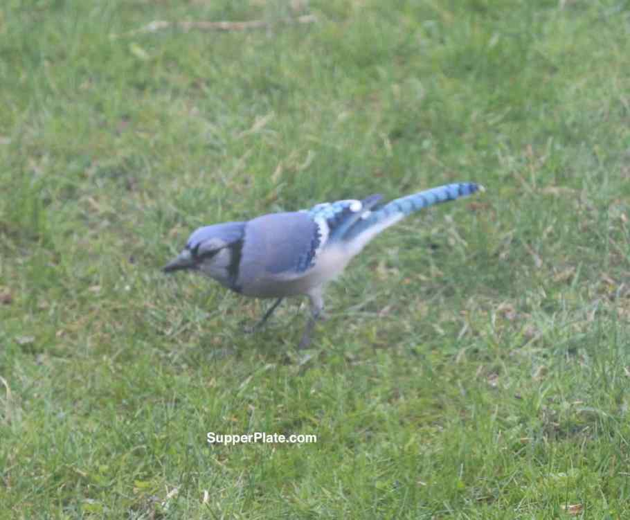 Blue Jay on the grass