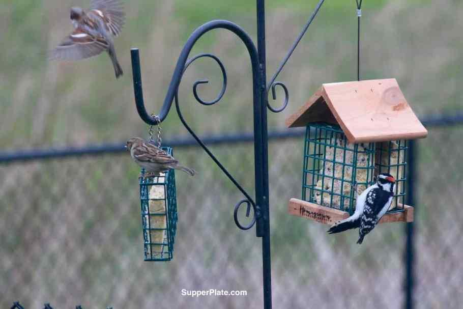 Woodpecker and sparrow on bird feeders