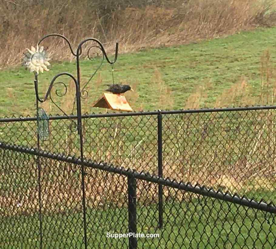 Black bird sitting on a broken bird feeder