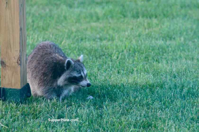 Raccoon in the grass looking up