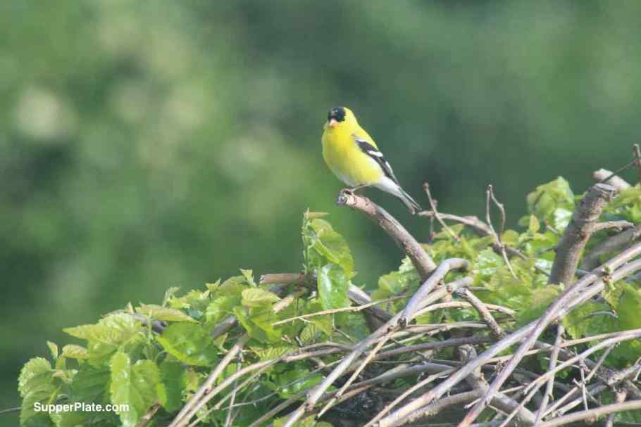 Close up of Yellow Finch perched on a tree