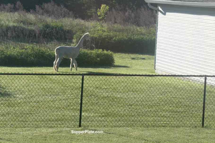 Alpaca standing in the grass