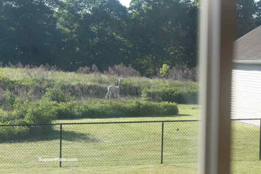 Alpaca walking in a field