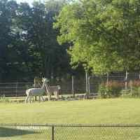 An Alpaca in our Backyard!