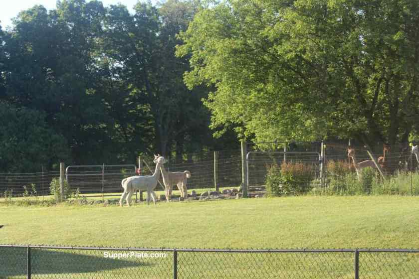 Two alpacas across from each other