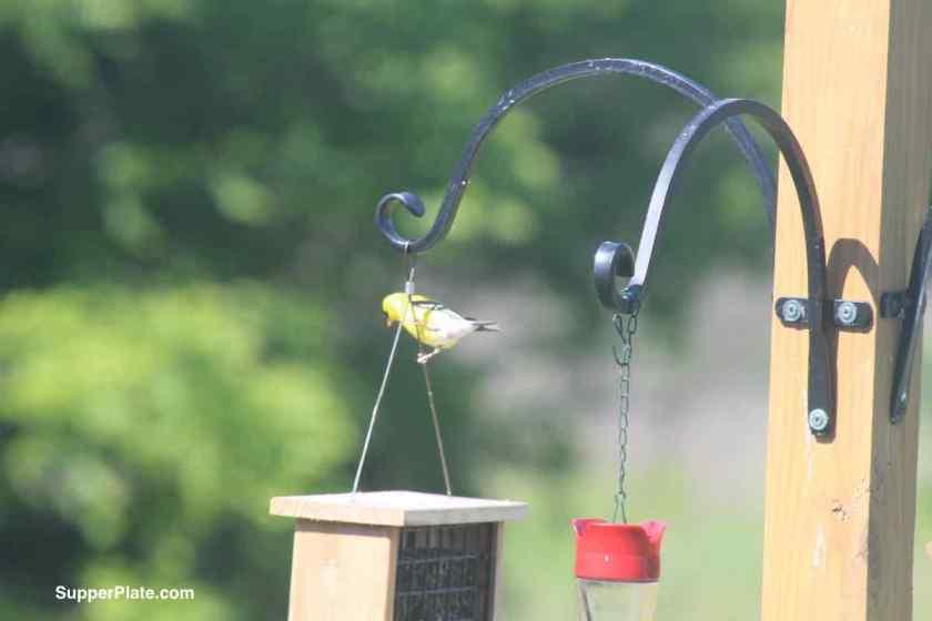 Yellow Finch on bird feeder holder