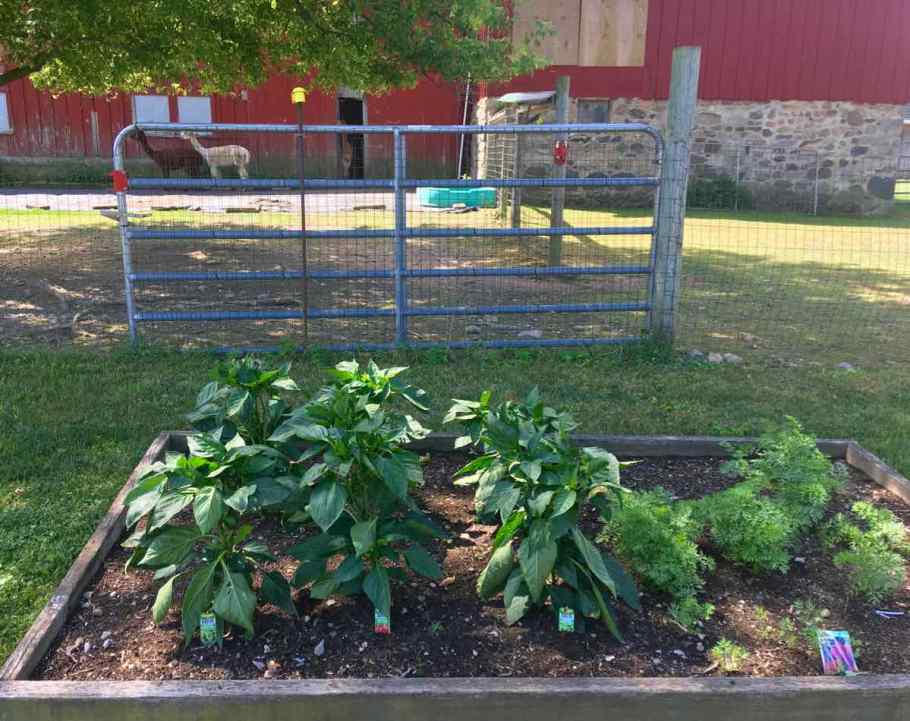 Pepper plants in a raised garden with alpacas in the background