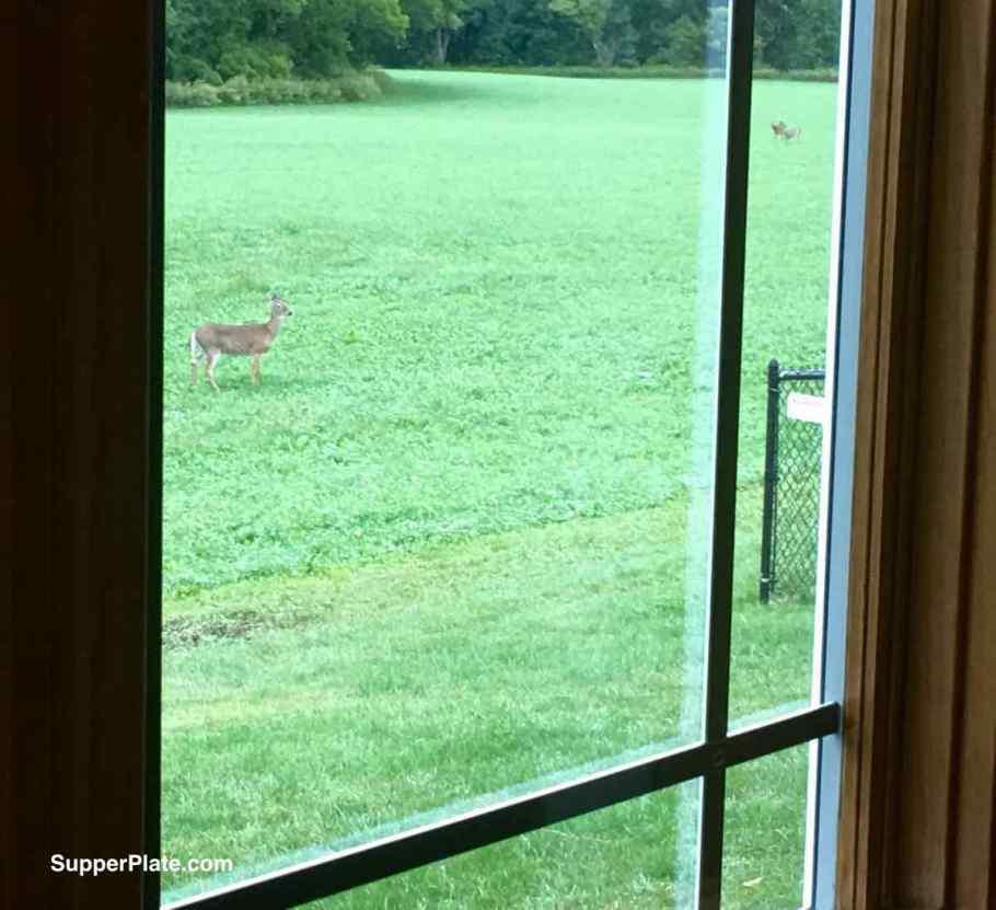 Deer in the yard as viewed through a window