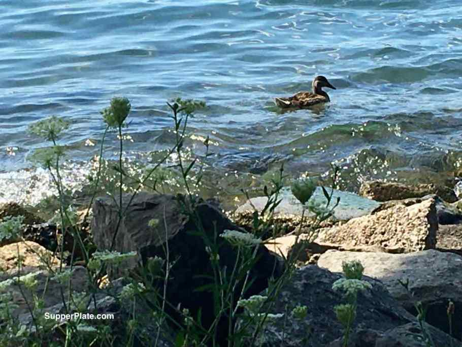 a duck in the river
