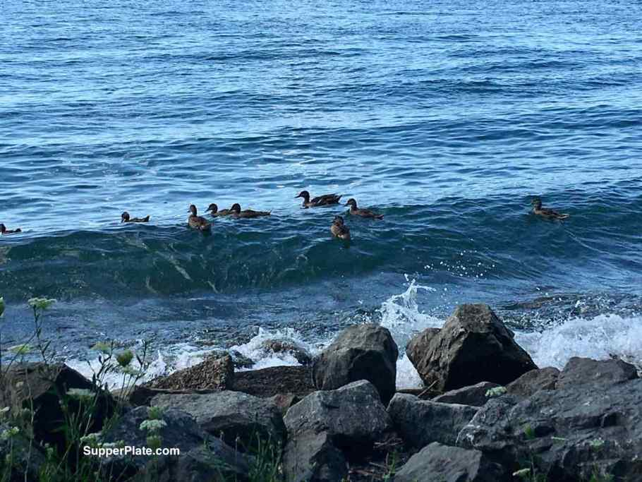 ducks in a wave