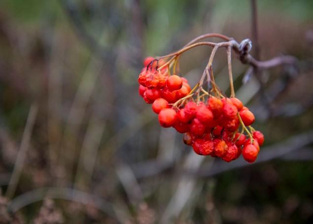 forgotten berries