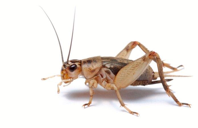 Cricket-Powder-Protein