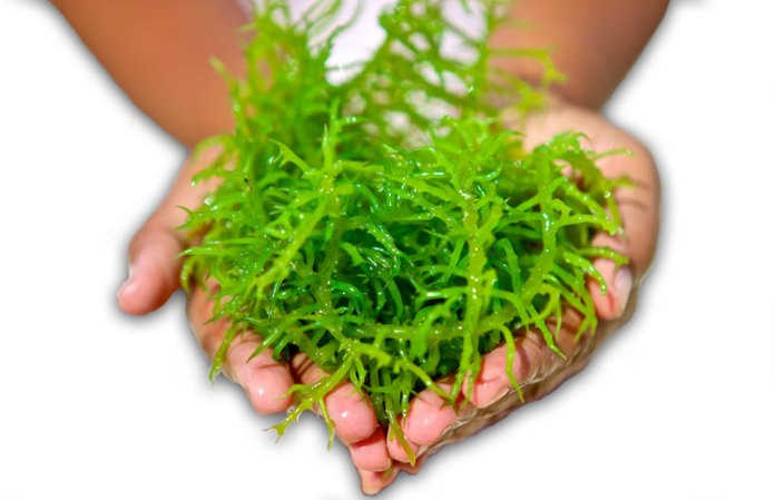 Seaweed Supplements Review All Natural Health Benefits