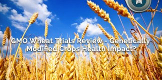 GMO Wheat Trials
