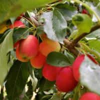 Pemberton CrabApple Project calls all Canners, Fruit Pickers and Bear Lovers