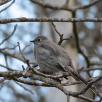 Spring migration and the Townsend's Solitaire: Bird watch with John Tschopp