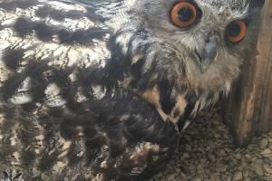Coruja águia engana cuidadores por 23 anos, ele era ela