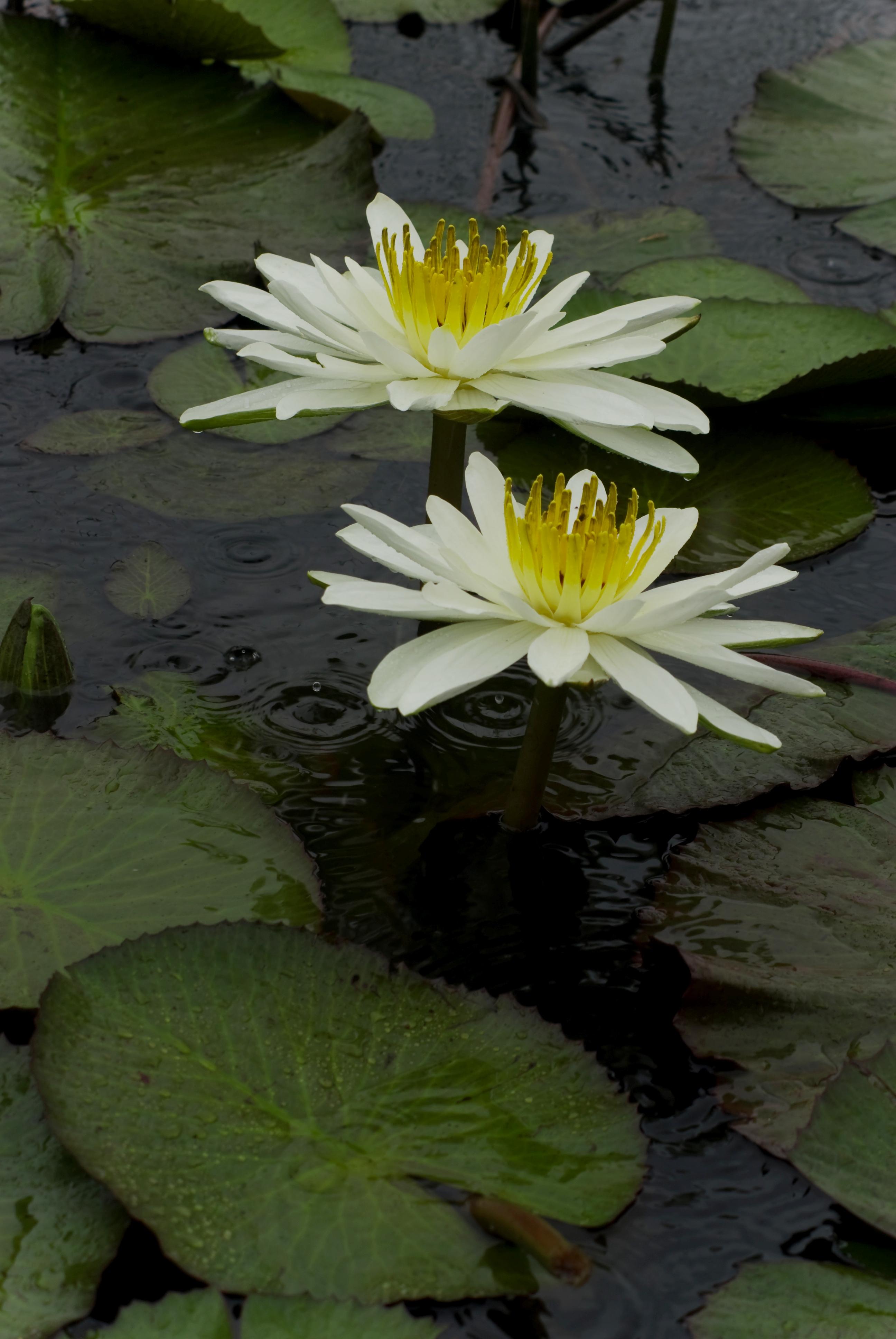 Flor de Lotto, Villa Rica