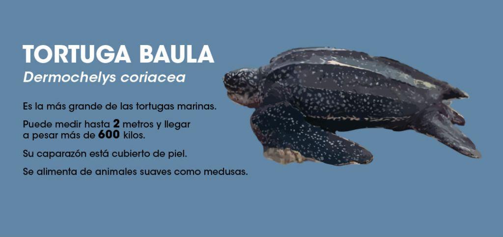 La baula es una de las especies de tortugas marinas que encara un mayor peligro de extinción. Imagen: Rafael Espinoza.