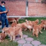 Rescatan a 23 perritos de la raza «Golden Retriever» en Tlayacapan