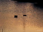 Copyright © Sherley J. Edinbarough (Surely, Sherley and/or SurelySherley), 2014. Ducks swimming in the resaca (A dry river bed, a former channel of the Rio Grande, found in the southern half of Cameron County, Texas).