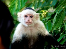 March 2015, Costa Rica. Copyright © Sherley J. Edinbarough (Surely, Sherley and/or SurelySherley), 2015. Having a staring contest with a curious monkey.