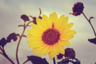 May, 2015. Brownsville, Texas, U.S.A. Copyright © Sherley J. Edinbarough (Surely, Sherley and/or SurelySherley), 2015. An hour of sunlight remains, a beetle rests on a sunflower as the flower looks to the fading light.