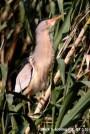 04 Avetorillo común - Birding Murcia
