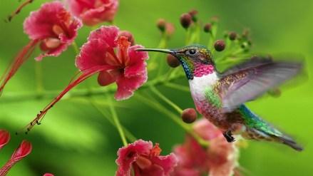 hummingbird-wallpapers-6