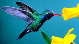hummingbird yellow flowers