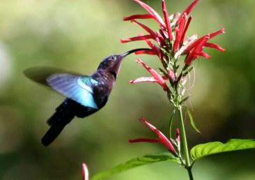 Purple-throated_carib_hummingbird_feeding