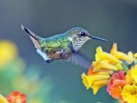 Volcano_Hummingbird