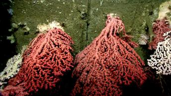 "NOAA's ROV Deep Discover or D2 for short explorers an underwater ""forest"" of corals. It takes hundreds of years for corals to grow as big as the ones we found in Heezen Canyon. Some deepwater corals are believed to live as long as 6,000 years."